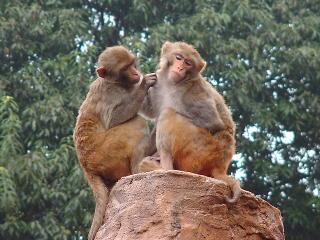 アカゲザル(ベンガルザル) アカゲザル(ベンガルザル) - 哺乳類図鑑 - 動物図鑑 - 動物写