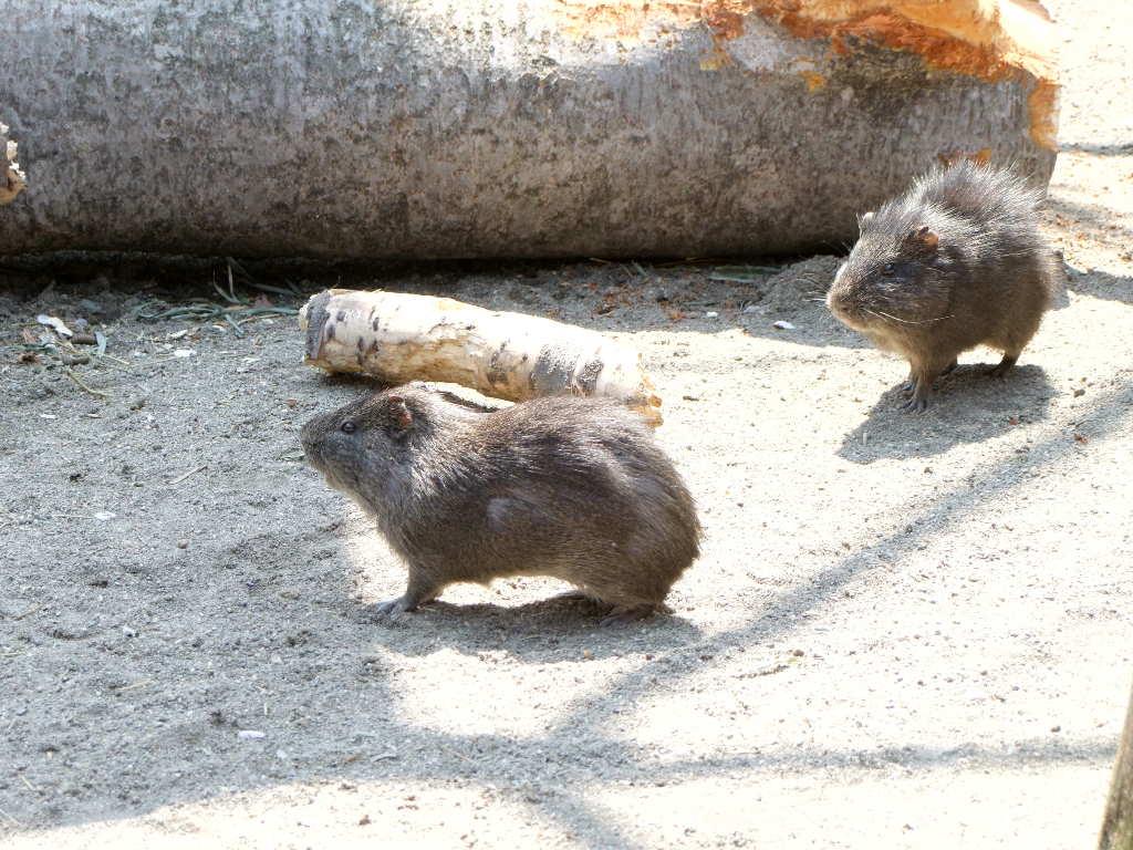 テンジクネズミの画像 p1_36