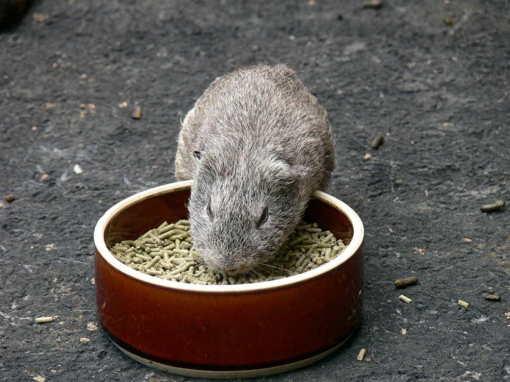 テンジクネズミの画像 p1_37