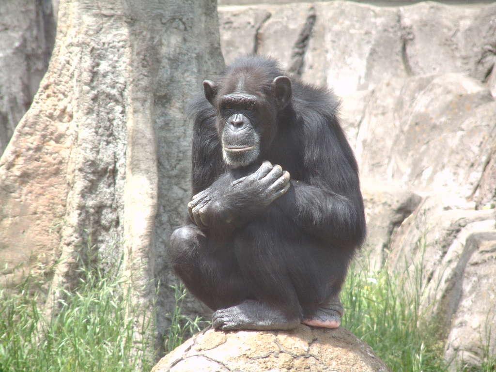 チンパンジーの画像 p1_32