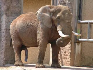 アフリカゾウの画像 p1_27