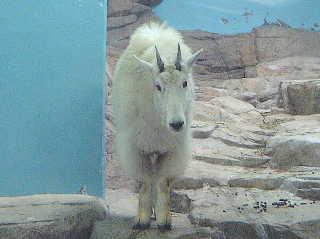 シロイワヤギの画像 p1_35
