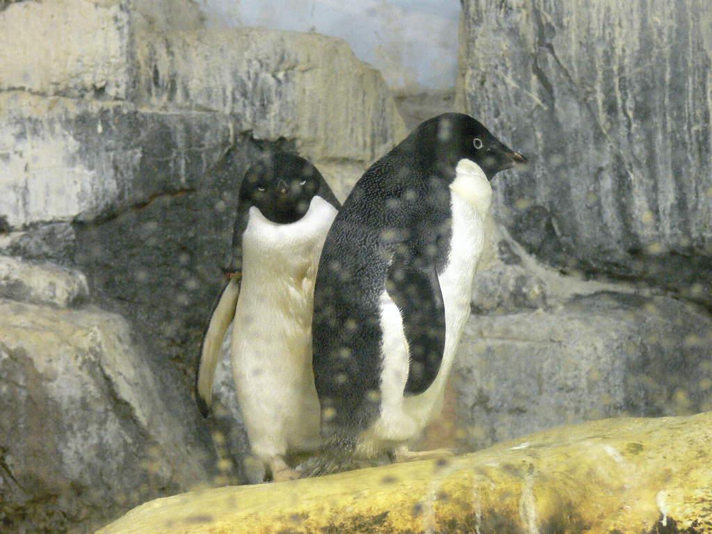 アデリーペンギンの画像 p1_37