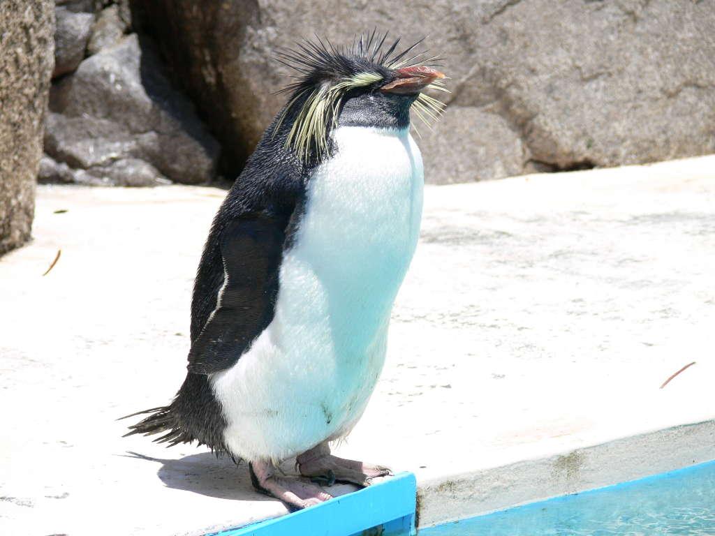 イワトビペンギン(かんむりペン...