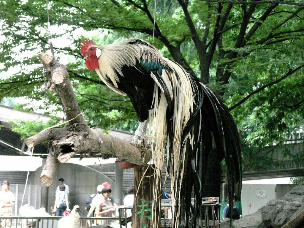 尾長鶏(オナガドリ)とは - コトバンク